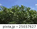 ゆず 果樹園 25037627