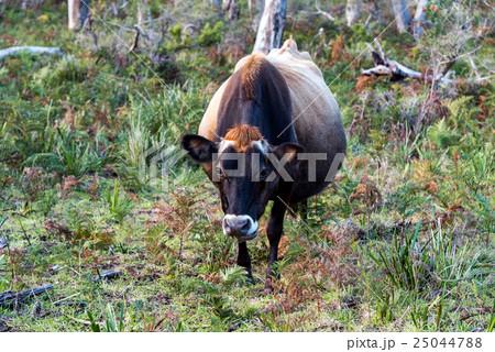 オーストラリアのブラックアンガス牛 25044788