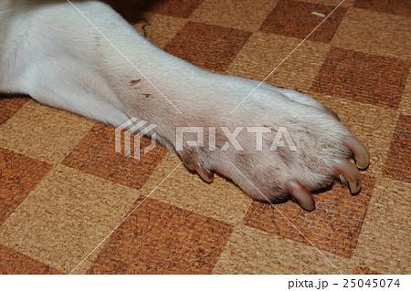 皮膚にカビを患った犬 病気の犬 犬の手 皮膚病 Sick dog Skin disease 25045074