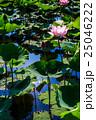 唐比ハス園 ハスの花 25046222