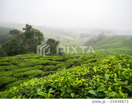 Boh Tea plantation in Cameron highlands 25046673