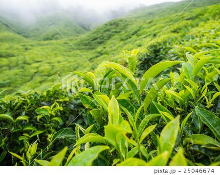 Boh Tea plantation in Cameron highlands 25046674