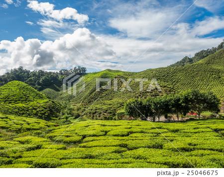 Tea plantation in the Cameron highlands 25046675