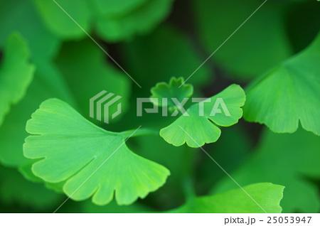 イチョウの葉 25053947