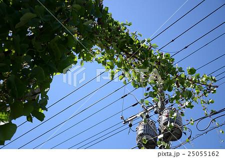 電柱を這い伸び成長を続けるクズ・葛の蔓と花 25055162