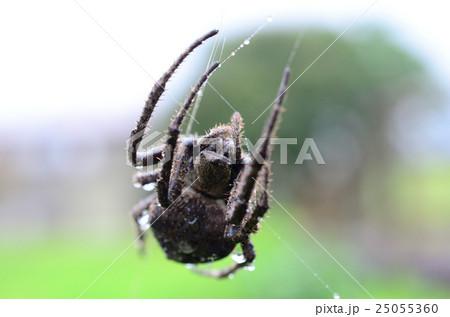 雨の中、巣を補修するオニグモ・鬼蜘蛛の写真素材 [25055360] - PIXTA