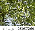 検見川浜のエンジュの木に莢に入った沢山の実 25057269