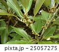 もうすぐアイボリーの花を咲かすシロダモの雄花 25057275