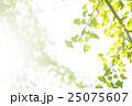 銀杏 イチョウ 葉っぱの写真 25075607