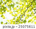 銀杏 イチョウ 葉っぱの写真 25075611