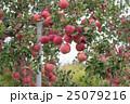 りんご 25079216