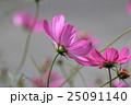 コスモス(ピンク)  25091140