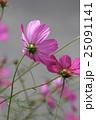 コスモス(ピンク)  25091141