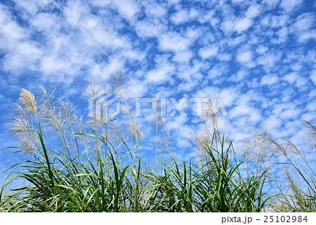 うろこ雲とススキ 25102984