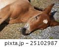 下北半島 尻屋崎 仔馬の寝顔 25102987