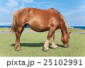 下北半島 尻屋崎 仔馬の寝顔 25102991