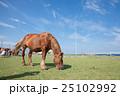 下北半島 尻屋崎 仔馬の寝顔 25102992