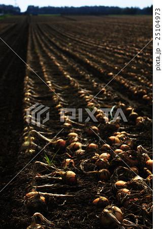 玉葱畑 25104973