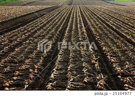 玉葱畑 25104977