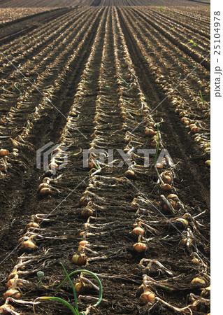 玉葱畑 25104978
