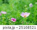 コスモス畑(ピンク色のコスモス) 25108521