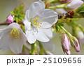 大島桜 桜 バラ科の写真 25109656