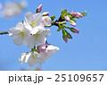 大島桜 桜 バラ科の写真 25109657