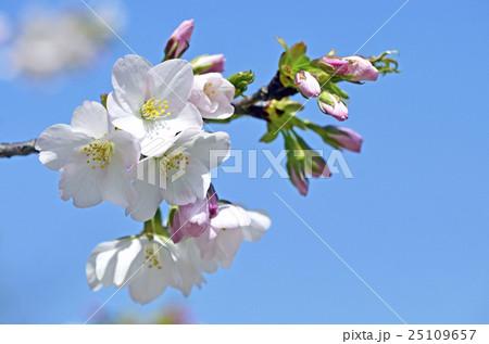 オオシマザクラ(大島桜) 25109657