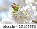 大島桜 桜 バラ科の写真 25109658