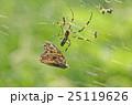 ジョロウグモ(女郎蜘蛛) 25119626