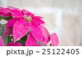 プリンセチア 25122405