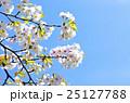 大島桜 桜 春の写真 25127788