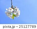 大島桜 桜 春の写真 25127789