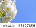 大島桜 桜 春の写真 25127856
