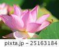 ピンクの蓮の花と遊びに来たミツバチ 25163184