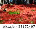 花 彼岸花 曼珠沙華の写真 25172497