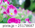 ピンクのトレニアの花 25178687