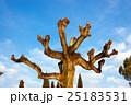 剪定 樹木 樹の写真 25183531