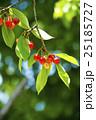 木になるサクランボ 25185727