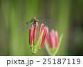 埼玉県高麗・巾着田・蕾彼岸花とトンボ 25187119
