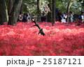 埼玉県高麗・巾着田・蕾彼岸花の幻想的な風景 25187121