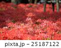 埼玉県高麗・巾着田・蕾彼岸花の群生風景 25187122