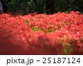埼玉県高麗・巾着田・蕾彼岸花の群生ドーム風景 25187124