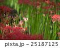 埼玉県高麗・巾着田・蕾彼岸花のつぼみ&茎風景 25187125