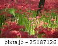 埼玉県高麗・巾着田・蕾彼岸花ぐんせい風景 25187126