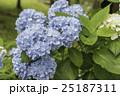 青いあじさい 25187311