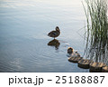 Duck and duckling in the morning autumn Lake 25188887