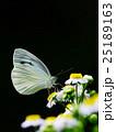 虫 蝶 蝶々の写真 25189163