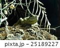 フィリピンホカケトカゲ 25189227