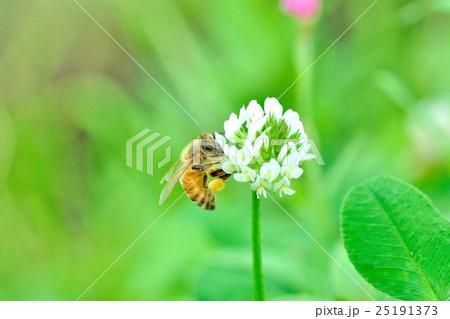 シロツメクサ(クローバー)とミツバチ 25191373